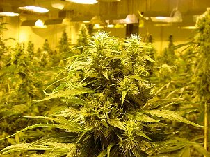 Insuranceopolis Marijuana Growers Insurance
